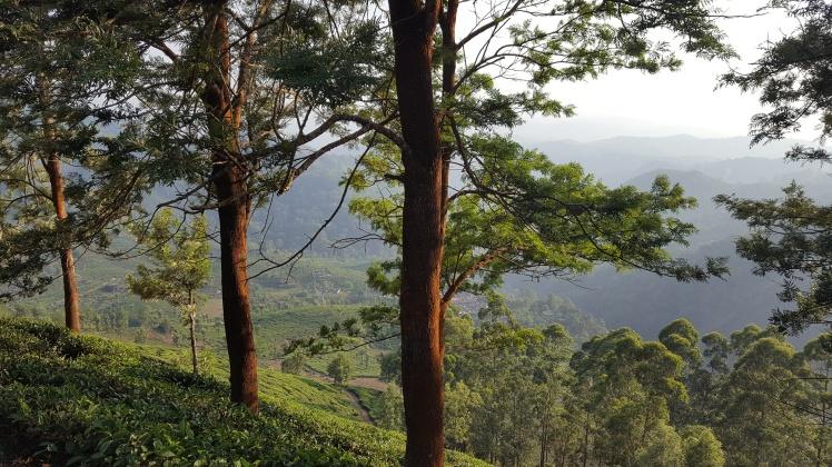 Munnar Kerala India Inde Plantations de thé Tea Plantations Tea Valley