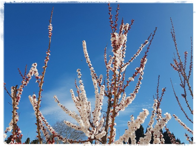 Count Your Blessings Gratitude Journal Enjoy The Little Things Apricot Tree Flowers In Bloom Spring in Provence